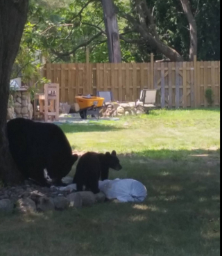 Bears in rockland