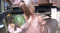 Hippo, watermelon