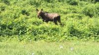 Moose cottlandt