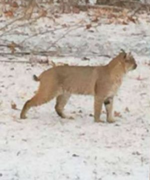 Tom Faranda S Folly Bobcats In Area Amp A Bobcat Attack