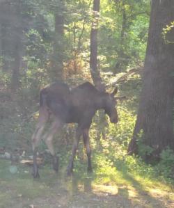 Moose on loose