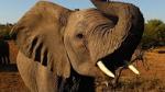 Elephant cnn
