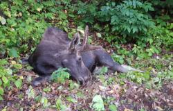 Moose down