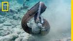 Eel v. octopus