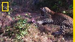 Leopard vs. python