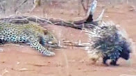 Leopard and porcupines