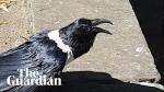 Crow talking