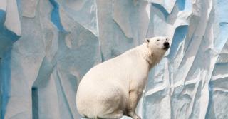 Woke polar bear