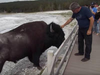 Petting bison man