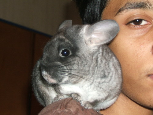 Chinchilla_action_12007_011